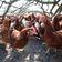 Vogelgrippe breitet sich in Europa aus