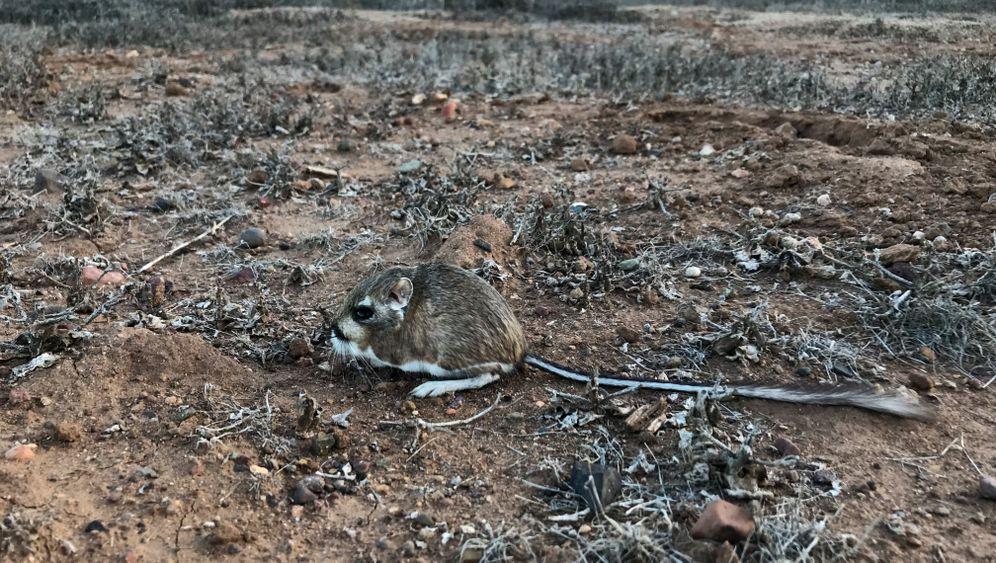 Kängururatten: Und sie leben doch!