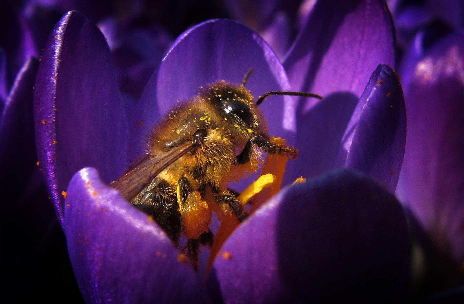 Biene / Krokosblüte