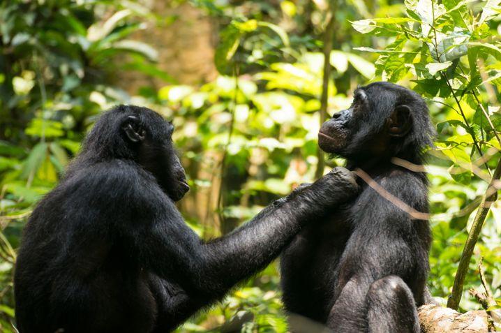 Lausen aus der Distanz: Affe Ten ist 45 und weitsichtig.