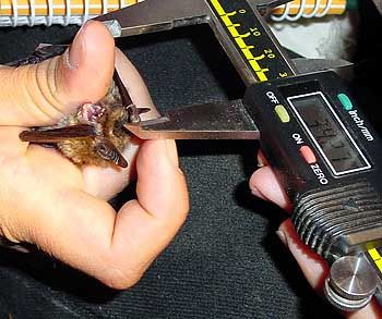 Wissenschaftliche Erfassung: Die Flugsäuger werden millimetergenau vermessen