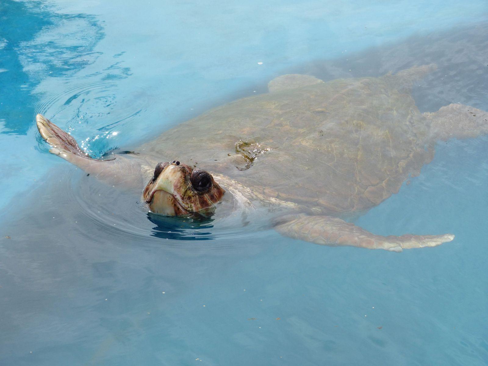 Meereschildkröte / Tumor