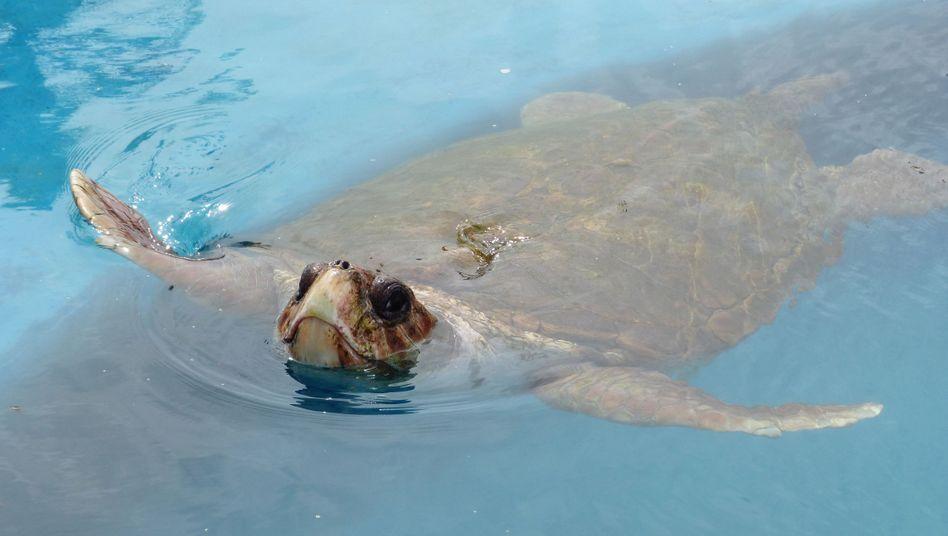 Kranke Meeresschildkröte im brasilianischen Praia do Forte