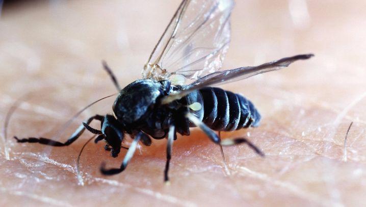 Ssssssss - pieks: Die häufigsten Stechmücken