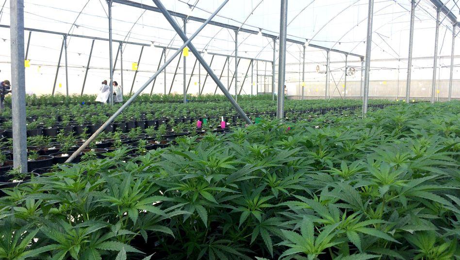 Gewächshaus für medizinisches Cannabis in Israel