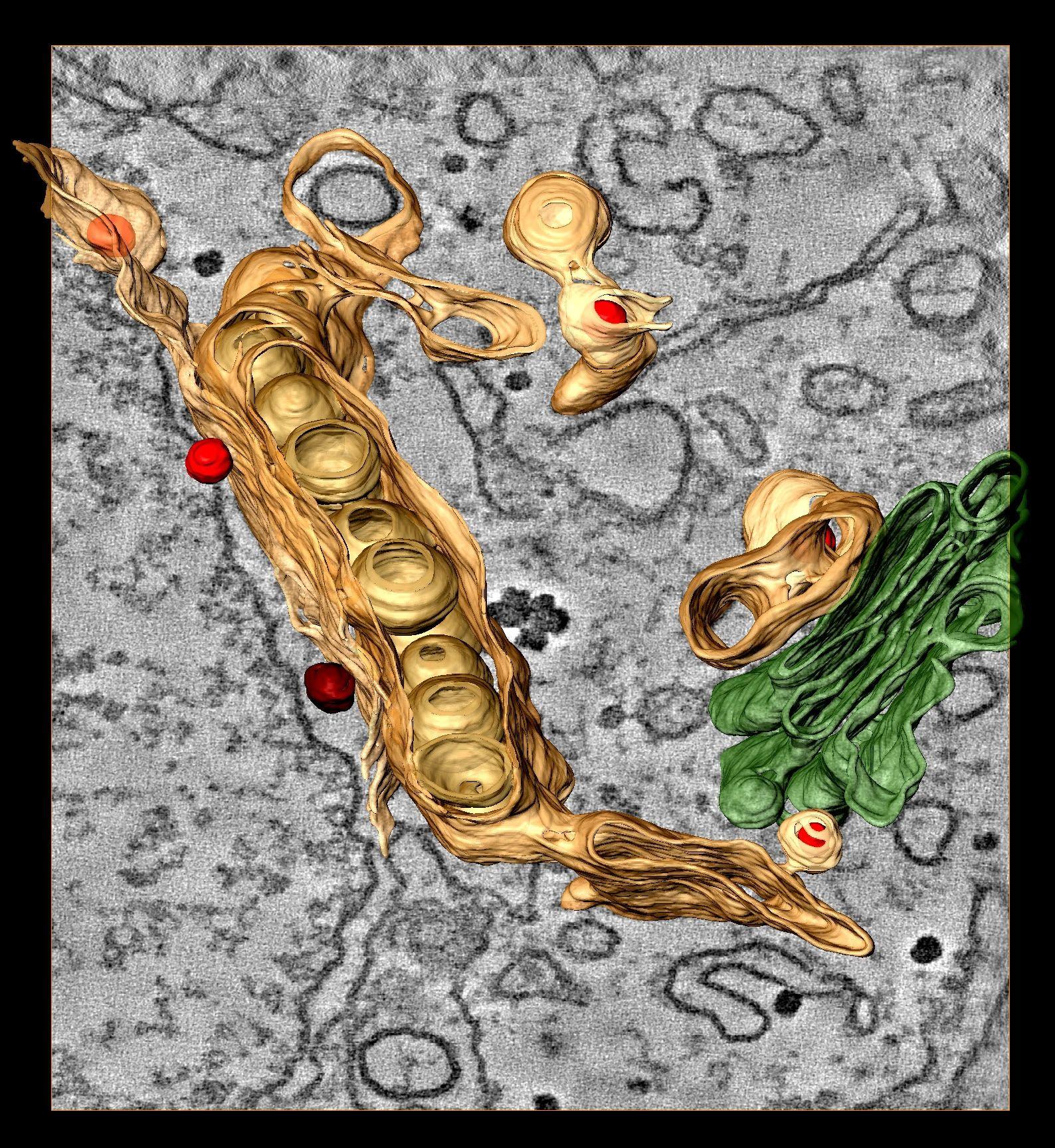EINMALIGE VERWENDUNG Dengue Virus / Genom / WISSENSCHAFT