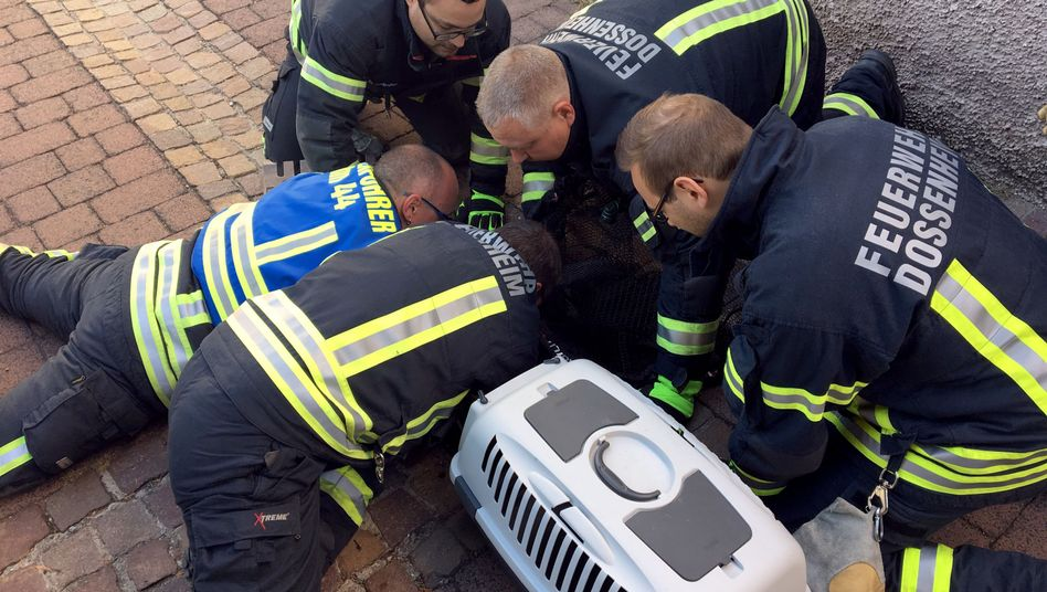 Dossenheim in Baden-Württemberg: Feuerwehrmänner befreien Kater aus Gully
