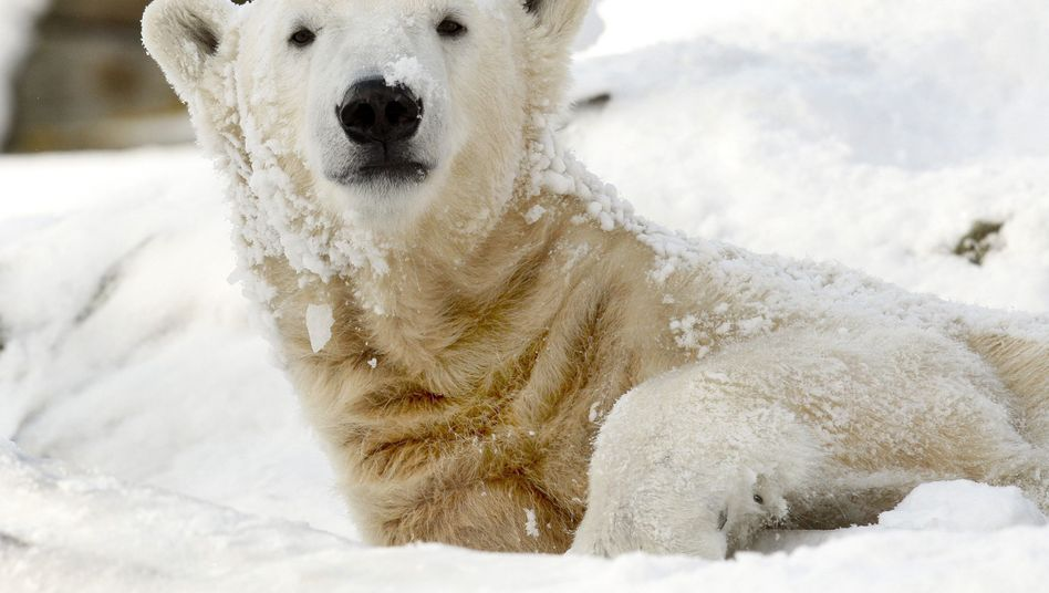 Polar bear Knut lies in the snow in his enclosure at the Berlin Zoo in February 2009.