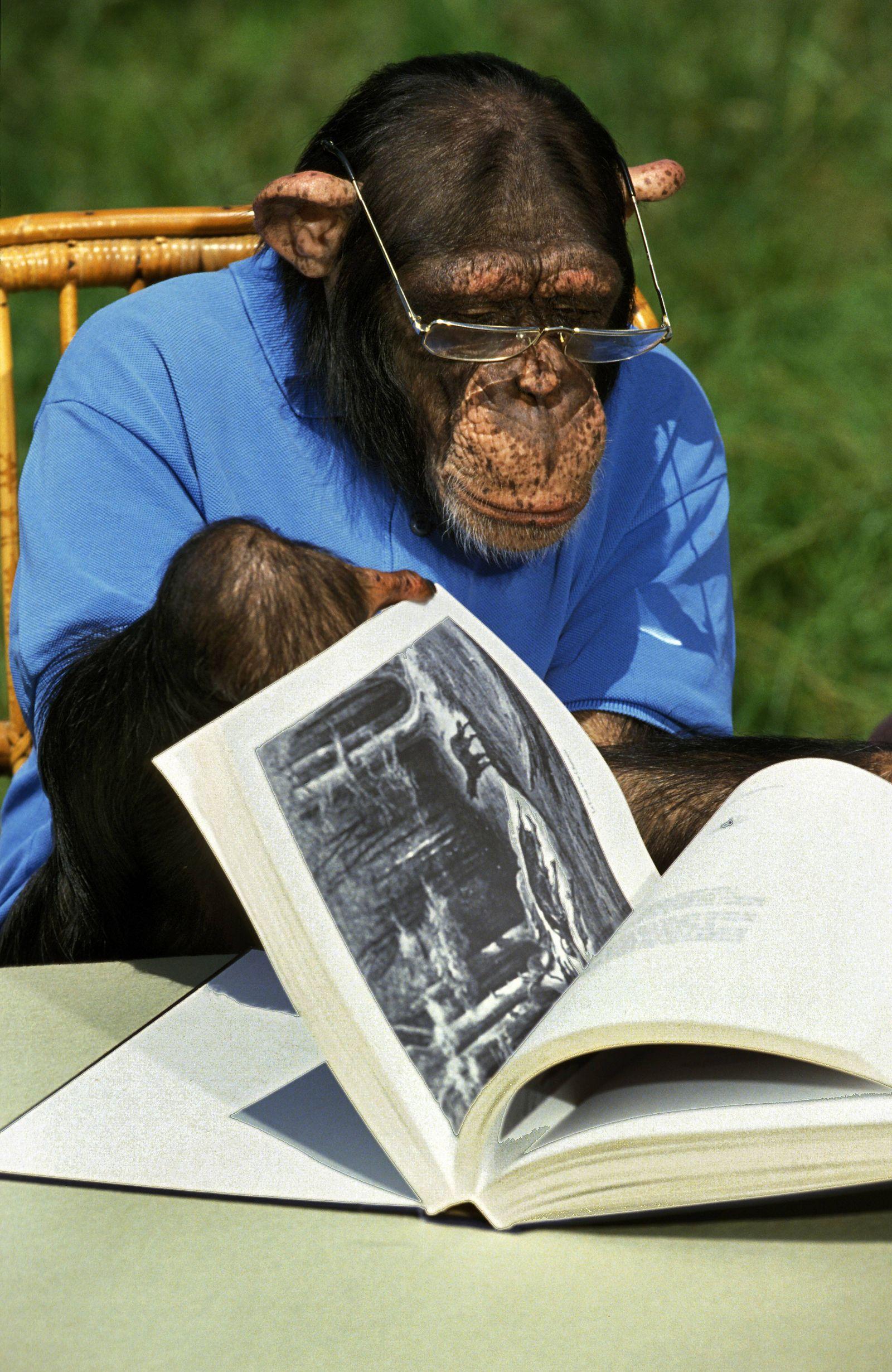 EINMALIGE VERWENDUNG Schimpanse/ Weitsichtigkeit/ Brille und Buch