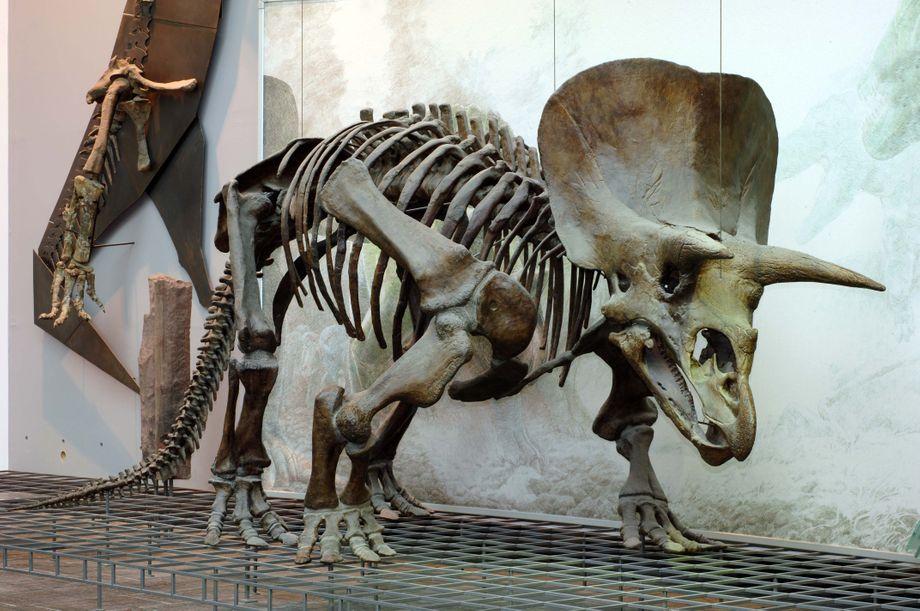 Das Triceratops-Puzzle.
