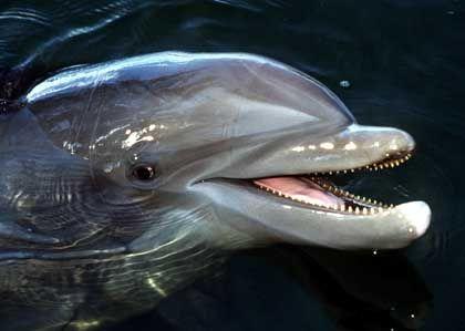 Großer Tümmler: Tiere dieser Art weisen sich durch Signaturpfiffe aus