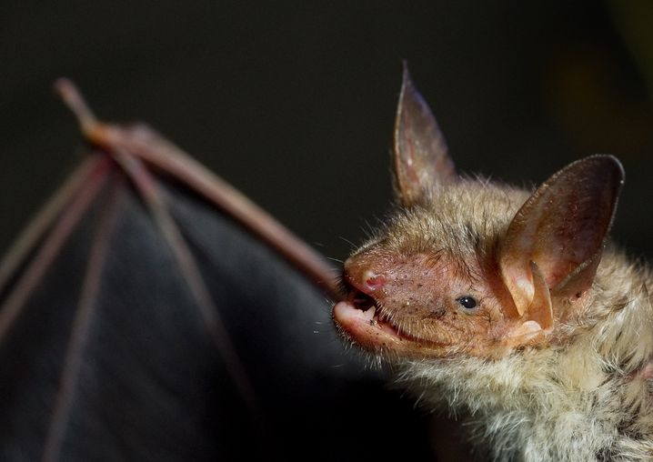 The great mouse-eared bat, one of various species of bats that hibernate in caves in Germany.