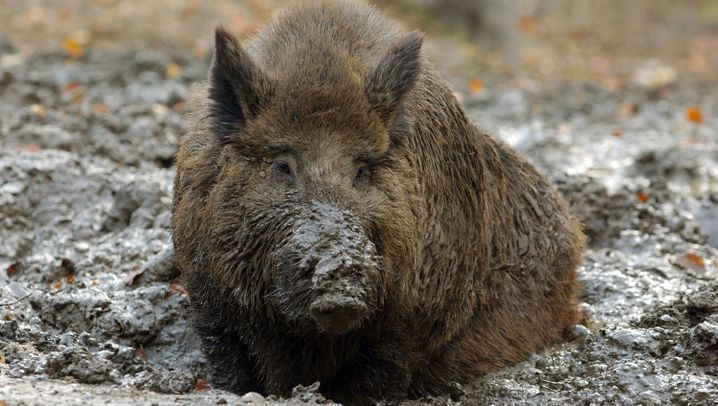 Photo Gallery: Europe's Love-Hate Relationship with the Wild Boar