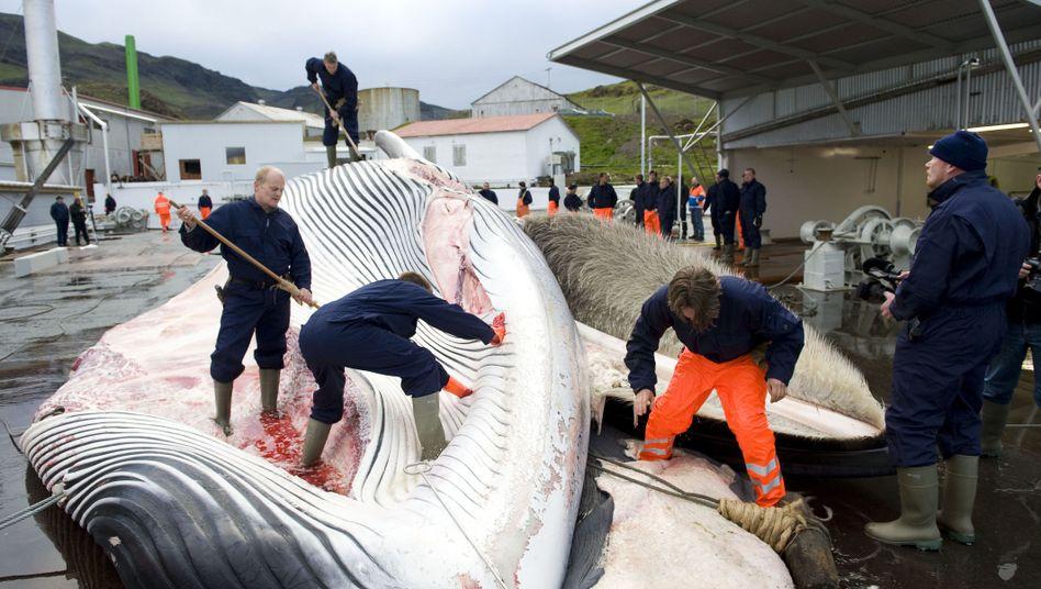 Isländische Walfänger (Archivbild)