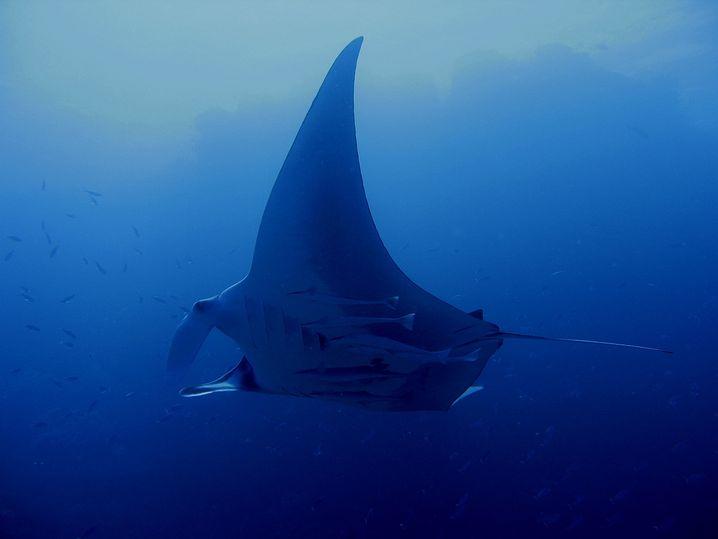 Manta: Das größte Riff der Welt ist nicht unbedingt das schönste
