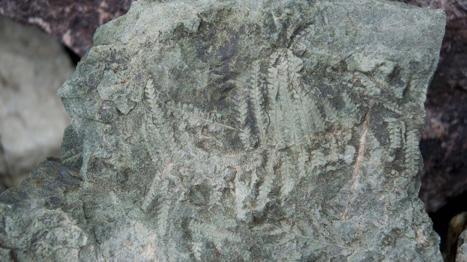 Fossilienfunde beweisen: Im Pliozän wuchsen Pflanzen in der Antarktis