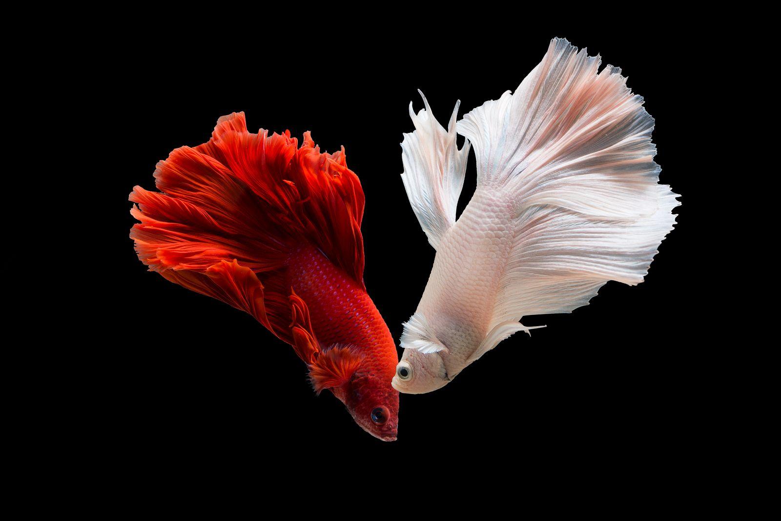 Red and white Siamese fighting fish (Betta fish)