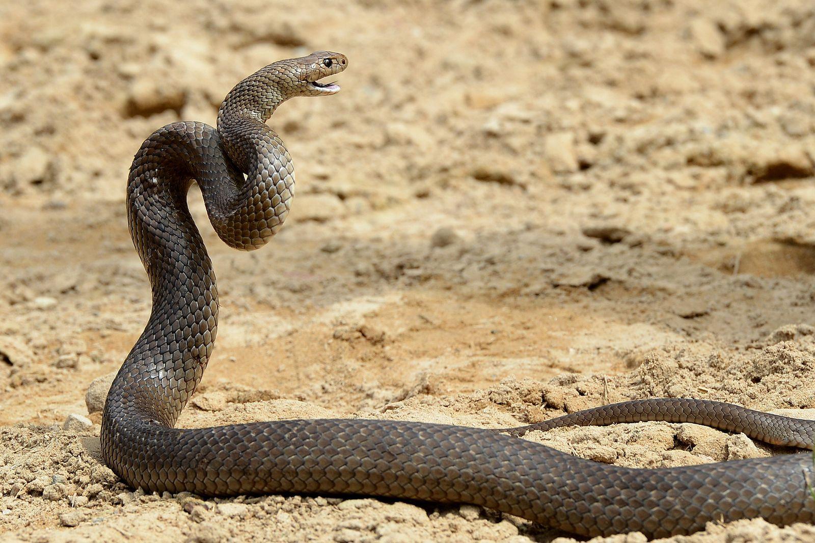 Braunschlange / Australien / Brown snake