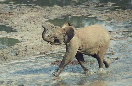 Dzanga Bai: Spielplatz für Elefantenkälber