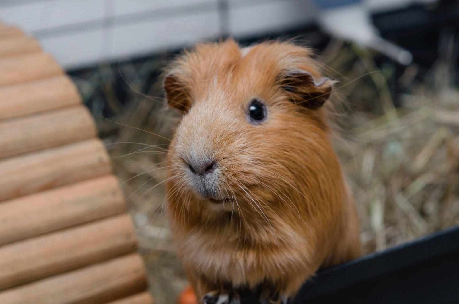 Portrait of cute red guinea pig. Close up photo. (DevMarya)