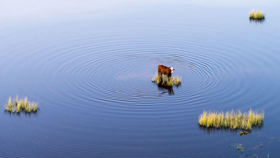 Kuh auf einem überfluteten Feld: 15 Schritte, um unser Klima zu retten