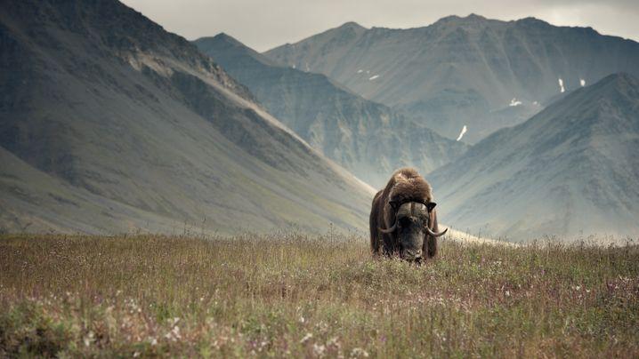 Peter und Beverly Pickford: Wildnis von Alaska bis Antarktis