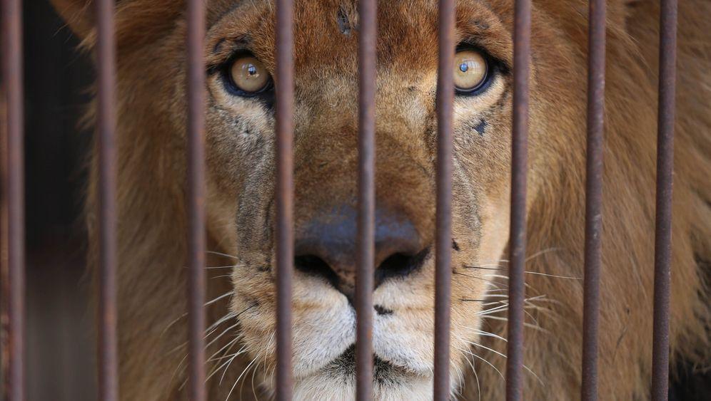 Löwen in Peru: Ende der Sklaverei
