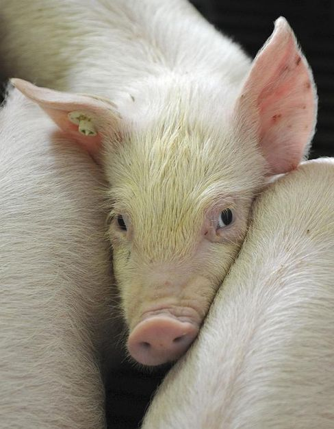 The sight of pigs proved too much to bear for a vegetarian motorist.