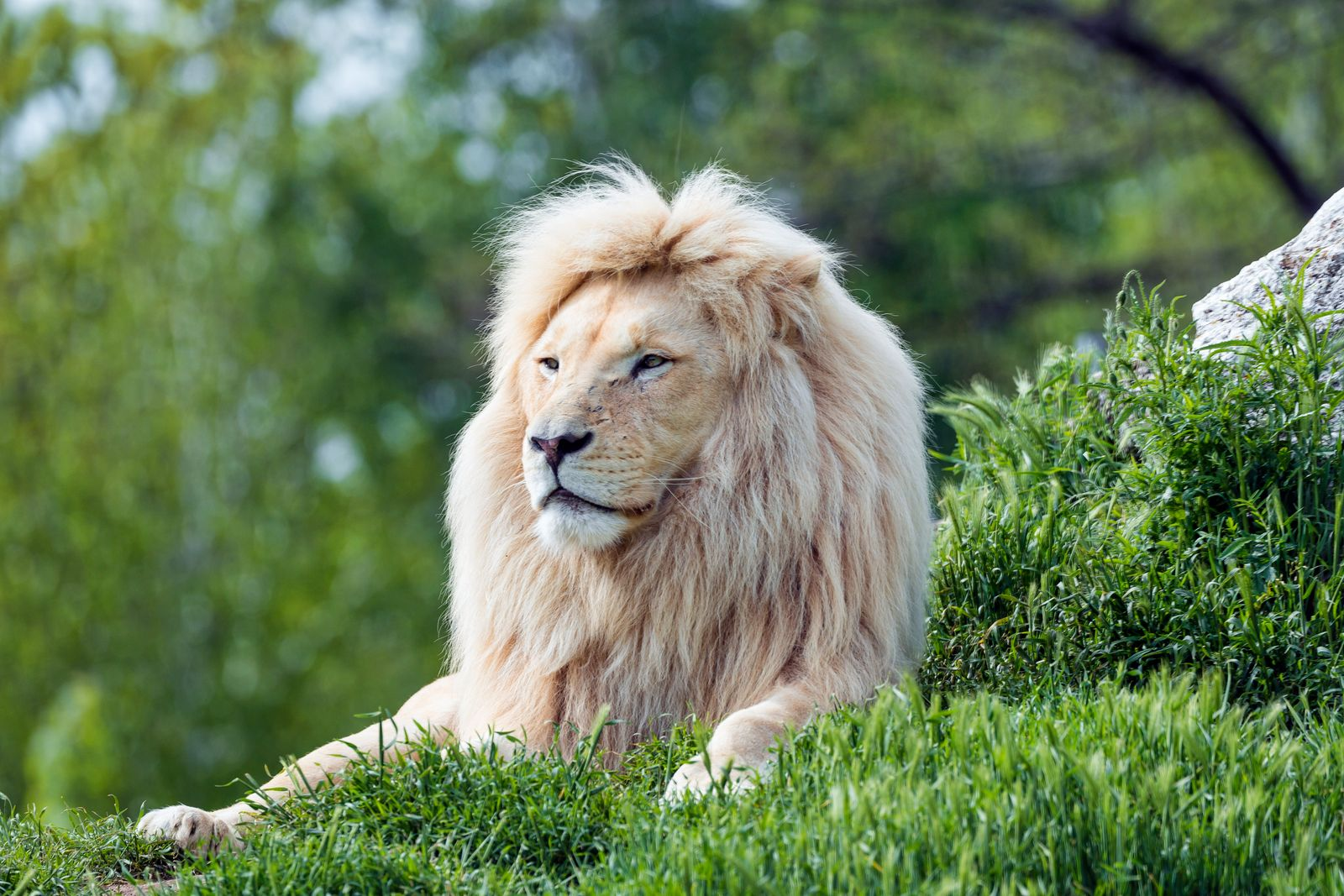 White lion in the grass