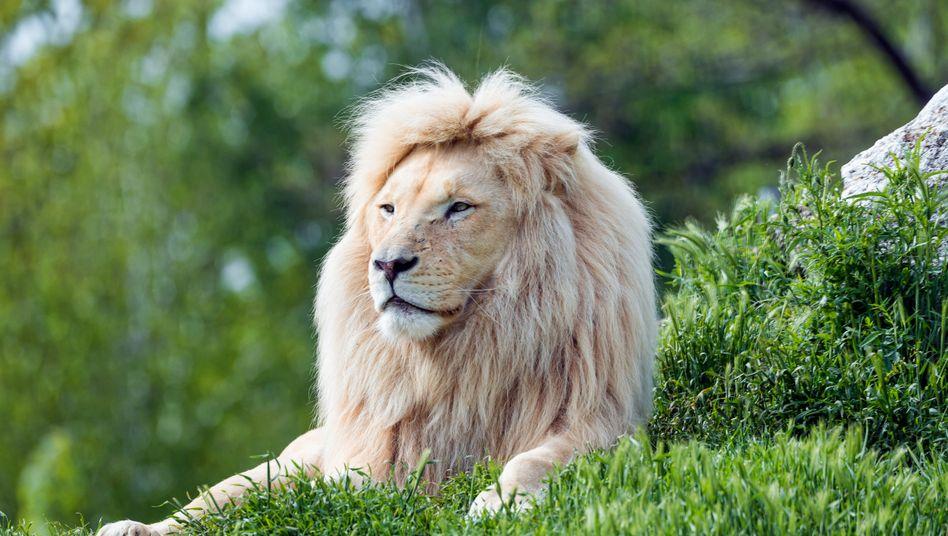 Weißer Löwe (Symbolbild): 80 Quadratmeter sind für die Haltung nicht genug