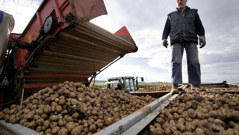 Ernte von Genkartoffeln