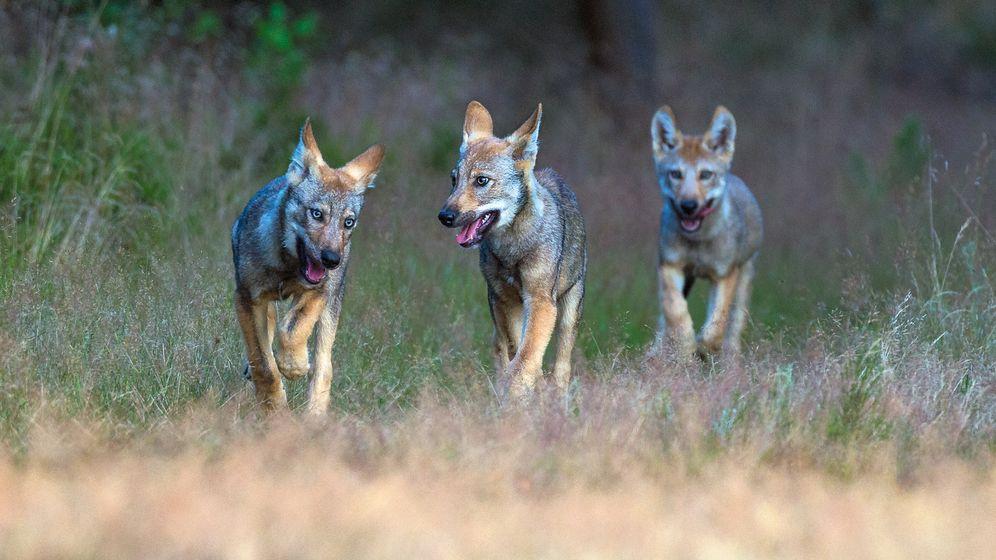 Wölfe in Deutschland: Begegnung mit einem Raubtier
