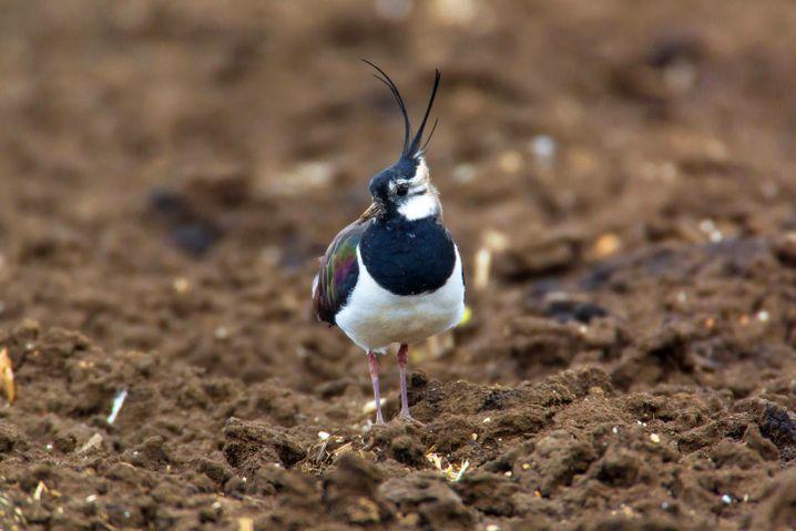 Kiebitz: Feldvogel in Gefahr