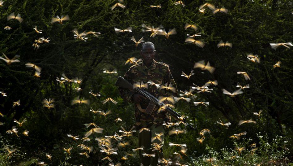Ein Ranger in Nordkenia versucht, die Heuschrecken-Schwärme einzudämmen