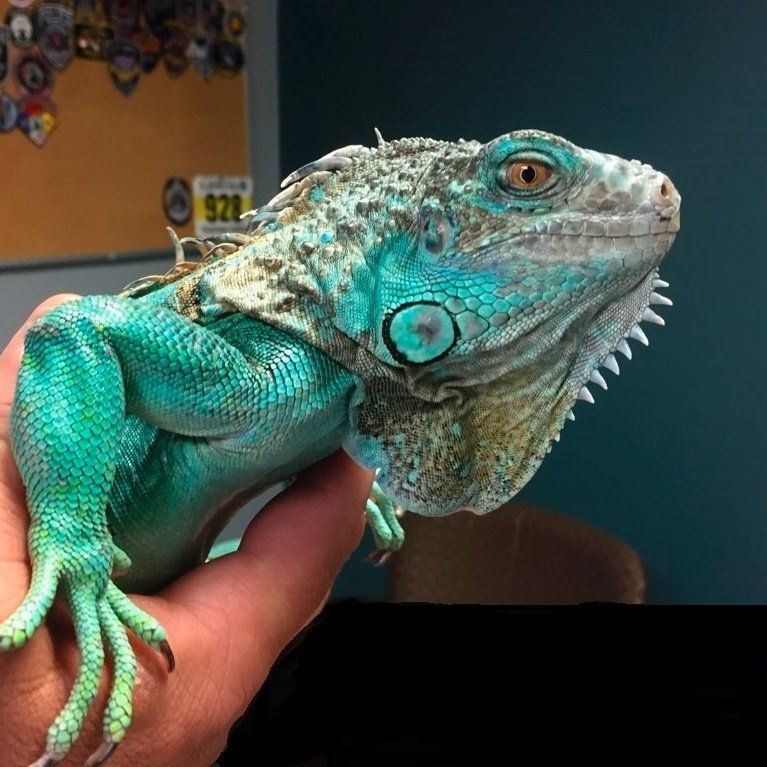 Iguana Thrown Man Charged