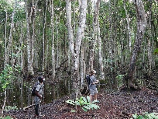 Mit Abstand: Zwei Mitglieder aus dem Team von Tobias Deschner beobachten Schimpansen, die sich hoch oben in den Bäumen verstecken.
