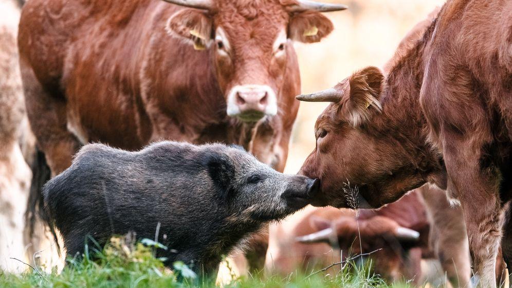 Junges Wildschwein: Von Rinderherde adoptiert