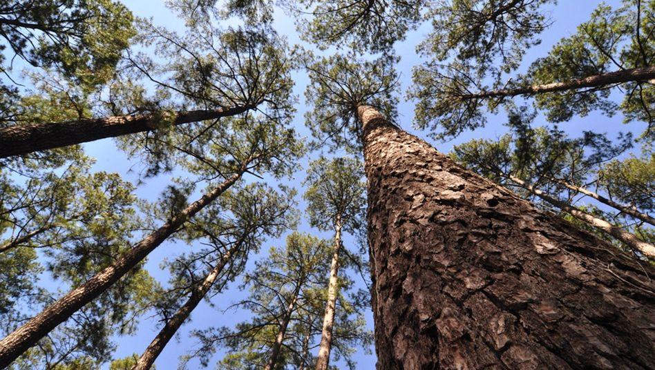 Weihrauchkiefern in Texas (Archivbild): Das Erbgut des Baumes ist rund siebenmal größer als das des Menschen.
