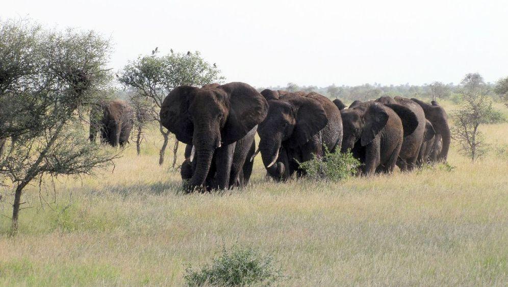 Elefanten in Afrika: Zweierlei Rüsseltiere