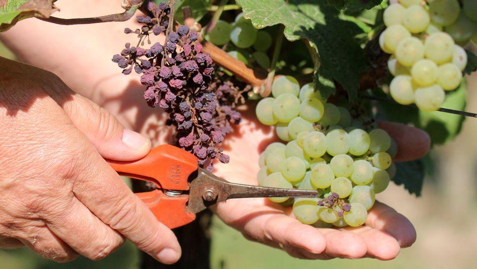 Von Falschem Mehltau befallene Trauben