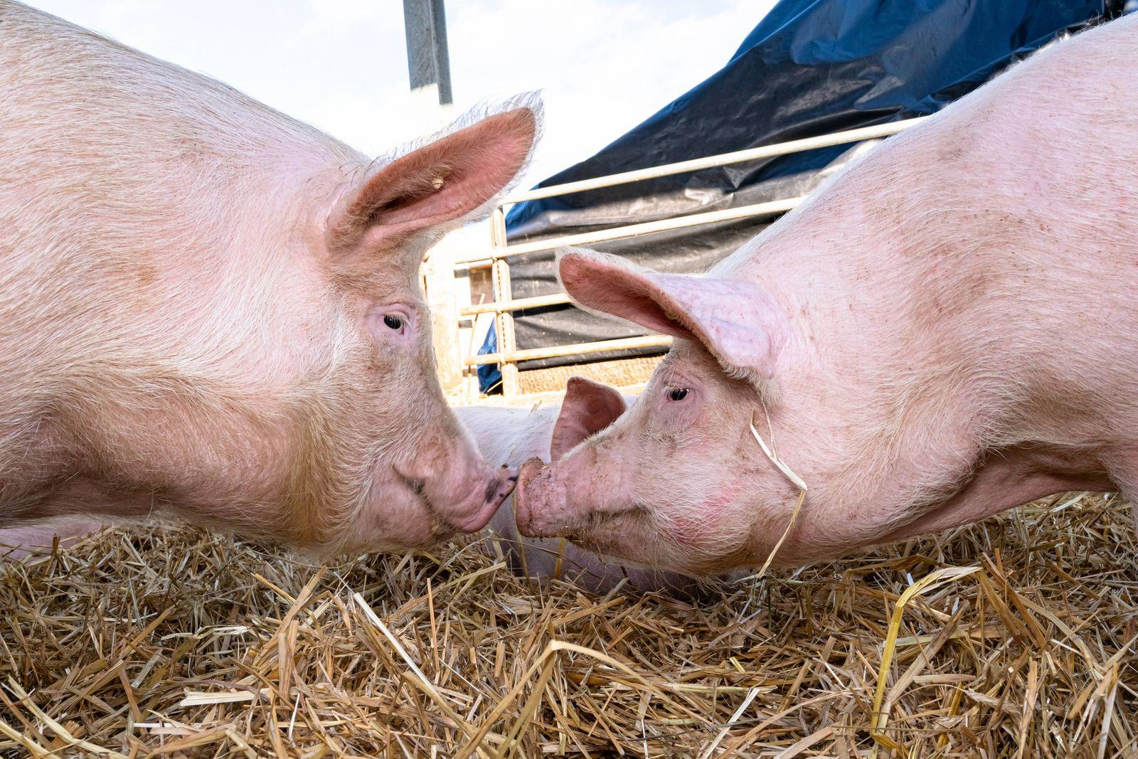 Haltung von Bioschweinen in einer mit Stroh eingestreuten Gruppenbucht. Mehrere Jungsauen in einem frisch mit Stroh ein