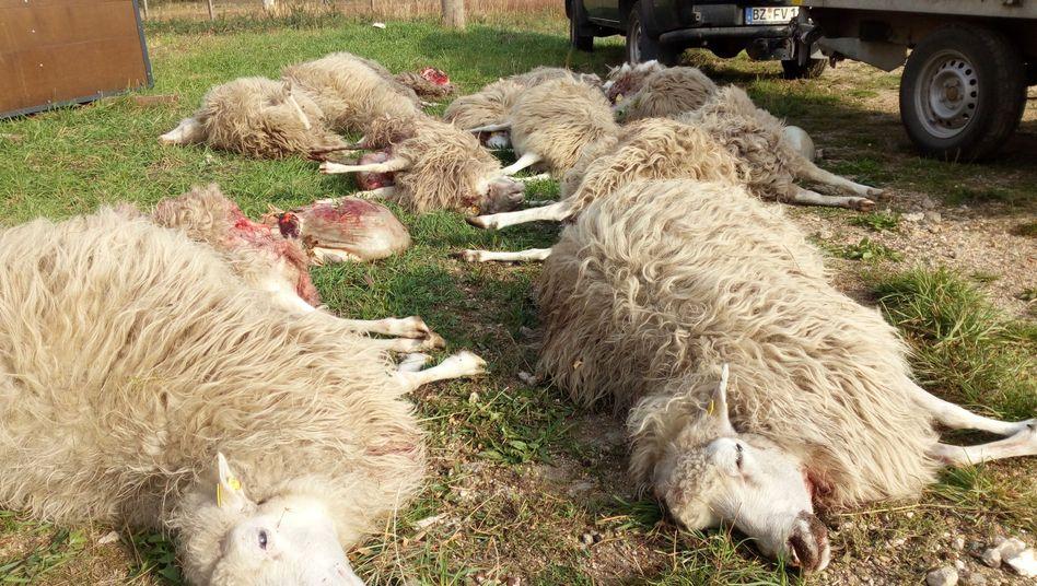 Tote Schafe in Förstgen