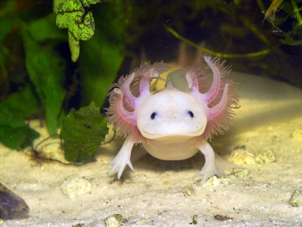 Miracle Healer: Scientists Attempt to Crack Secret Code of the Axolotl -  DER SPIEGEL