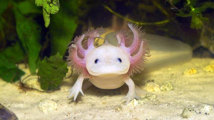 Photo Gallery: The Fabulous World of the Axolotl