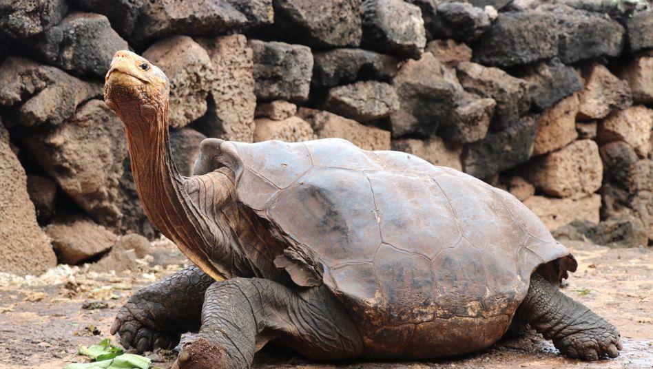 80 Kilo schwer, 100 Jahre alt: Riesenschildkröte Diego von den Galápagosinseln