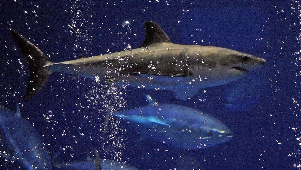 Weißer Hai: Gefräßiger Räuber, elegante Schönheit