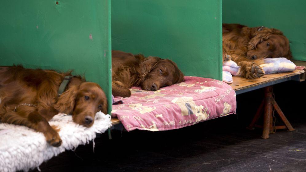 Skandal bei Crufts: Mordverdacht bei der Hundeshow