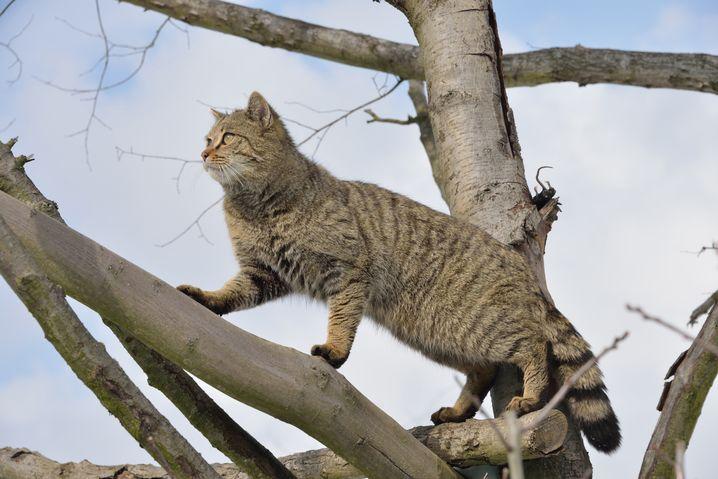 Wildkatzen wiegen vier bis fünf Kilo