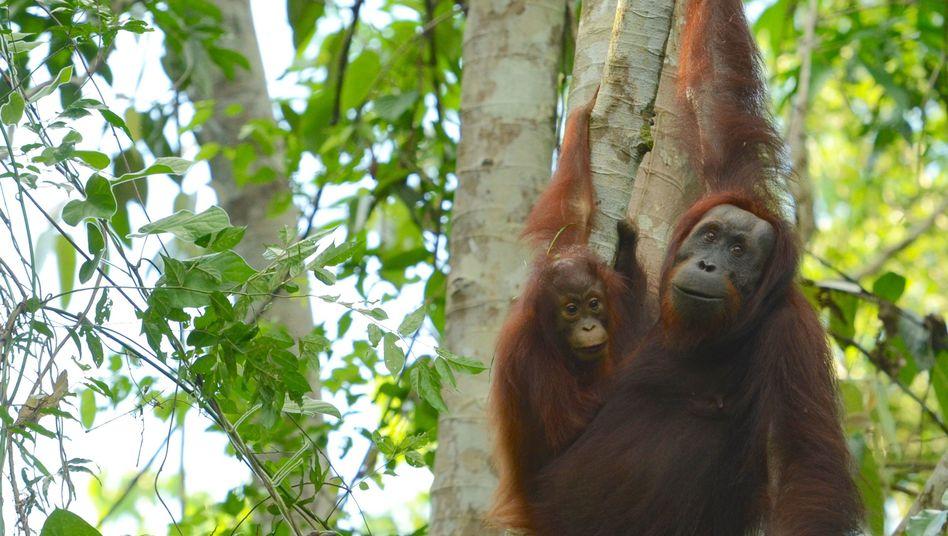 Orang-Utans beim Klettern in Bäumen