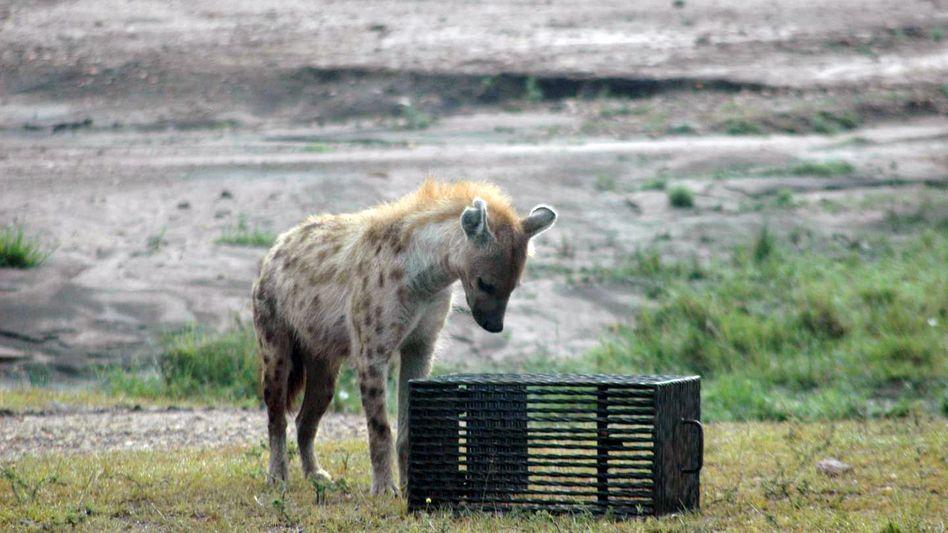 Hyäne in Denkerpose: Wie komm ich bloß ans Futter?